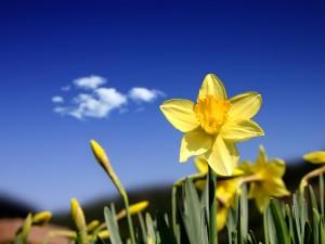 Daffodil_Days_1600-300x225