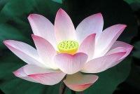 single_lotus